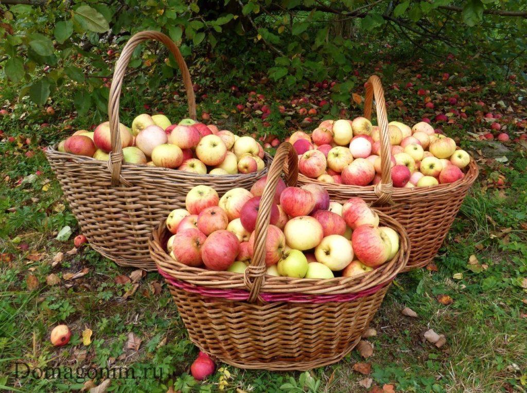 Как подготовить яблоки для домашнего вина
