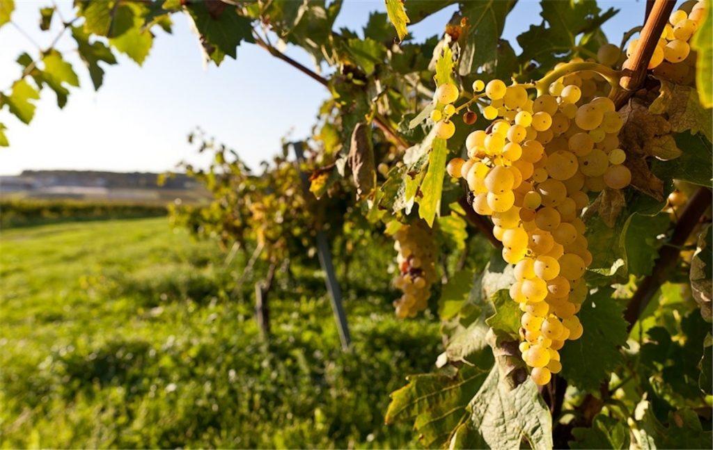 Сбор винограда. Белое вино своими руками. Красивые гроздья винограда