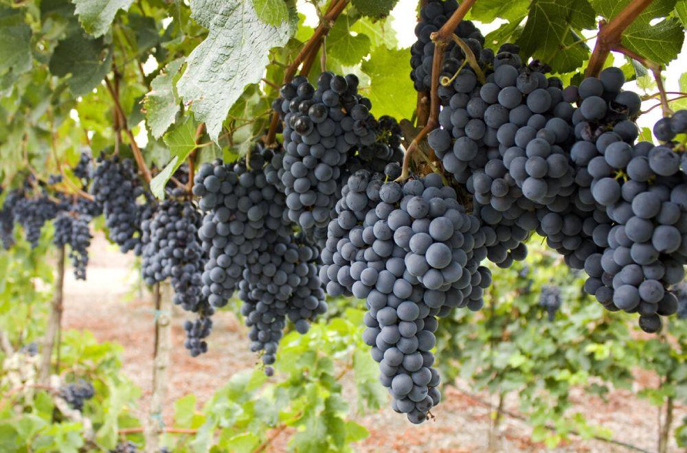 Виноград Каберне Совиньон. Сорта винограда бордо